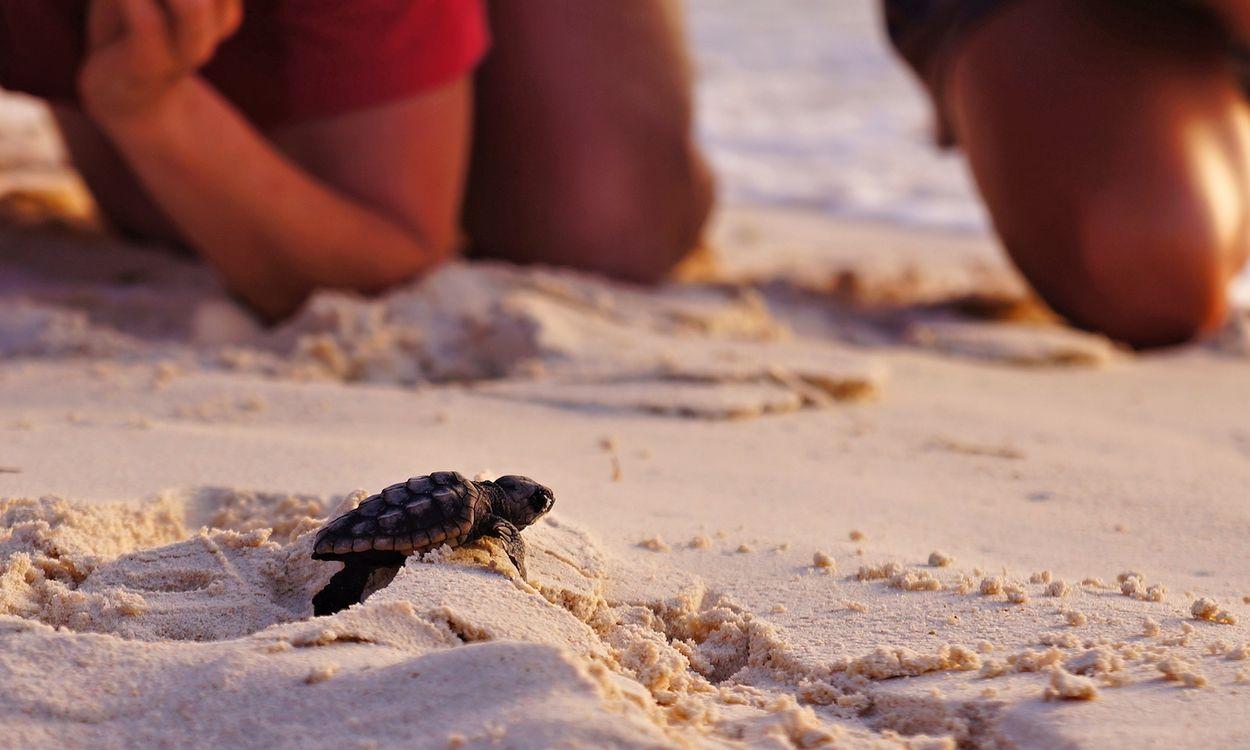 Afbeelding van Bedreigde zeeschildpadden in Florida nemen toe dankzij quarantainemaatregelen